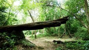 toinen kaatunut puu